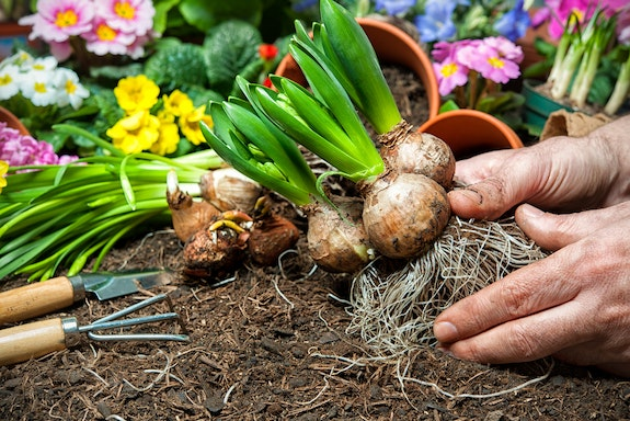 The 4 Best Flower Bulbs to Plant Now for a Summer Garden